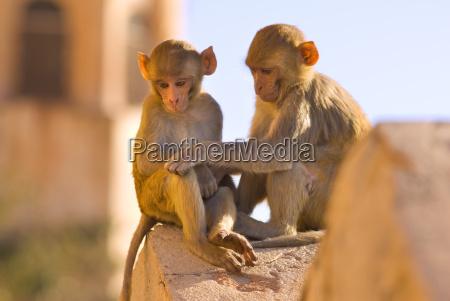 monkeys at tiger fort jaipur rajasthan