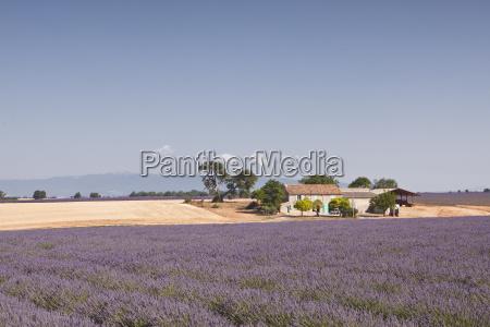 a house amongst lavender fields on