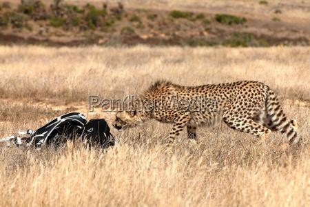 neugierig gepard im rucksack sniffing naturliebhaber