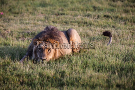 cor africa leao gato retrato animais