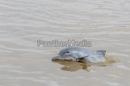 erwachsener grauer delphin bufeo gris sotalia