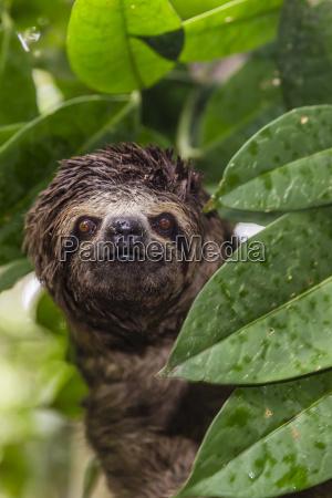 eine wilde braun throated faultier bradypus