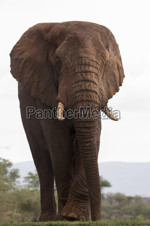 afrikanischer elefant loxodonta africana zimanga private