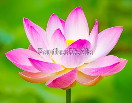 nahaufnahme lotus blume