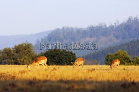 female impala aepyceros melampus mlilwane wildlife