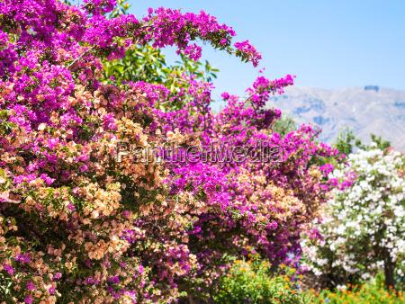 pink flowers of oleander in sicily