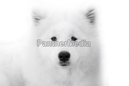 close up on samoyed dog on