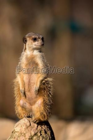 meerkat, in, freier, wildbahn, - 21039941