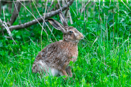wild hare sitting in a green
