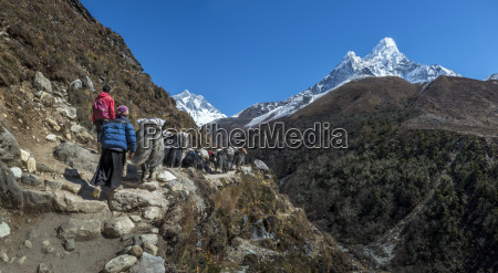 nepal khumbu everest region pangboche yaks