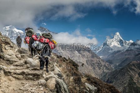 nepal khumbu everest region mong yaks