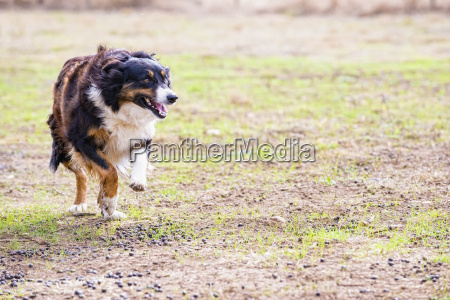 usa texas running border collie hund