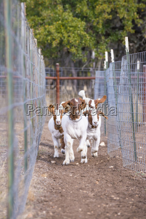 usa texas young boer goats