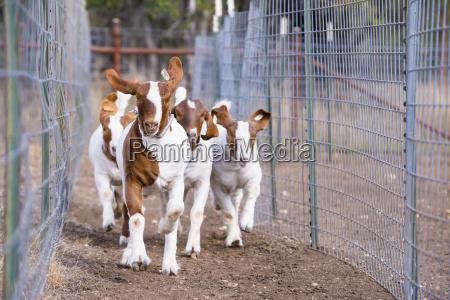 usa texas young boer goats