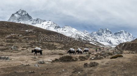 nepal himalaya khumbu tiere auf wanderweg