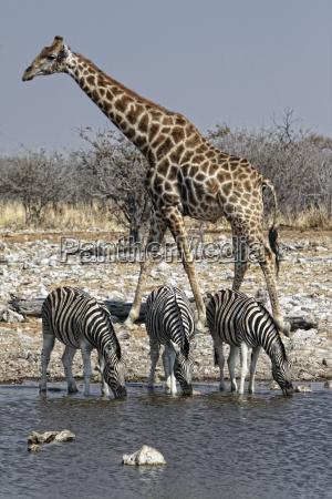 namibia etosha national park giraffe and