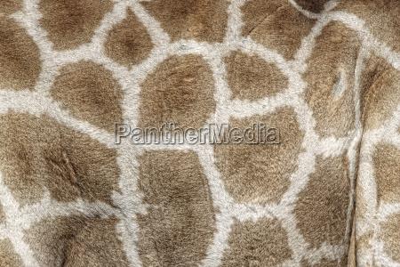 skin of a giraffe