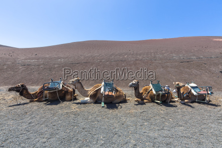 fahrt reisen tier nationalpark tourismus kamel