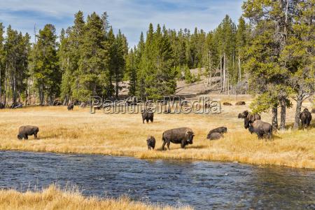 usa wyoming yellowstone nationalpark herde von