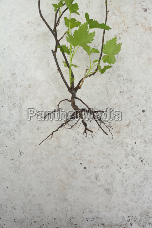 weed with root close up