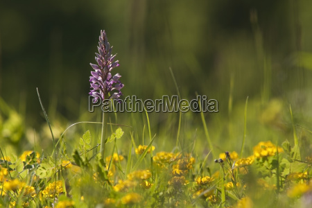 germany baden wuerttemberg military orchid close