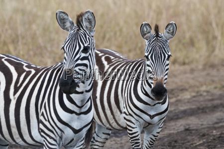 afrika kenia maasai mara national reserve