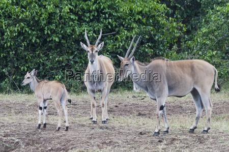 afrika kenia masai mara national reserve