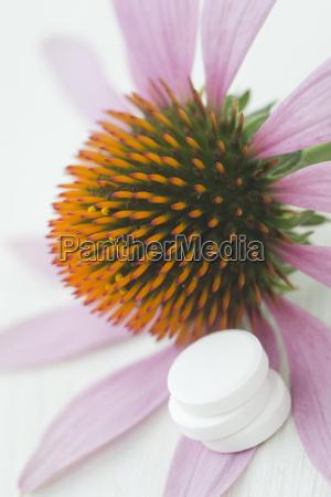 purpurroter coneflower echinacea und drei weisse
