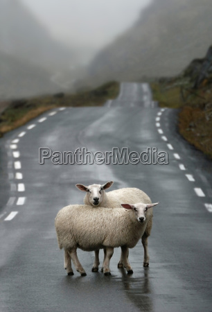 norway sheep standing on road