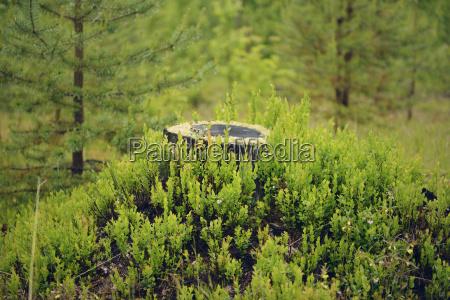 schweden stroemsund baumstumpf umgeben von heidelbeerenpflanzen