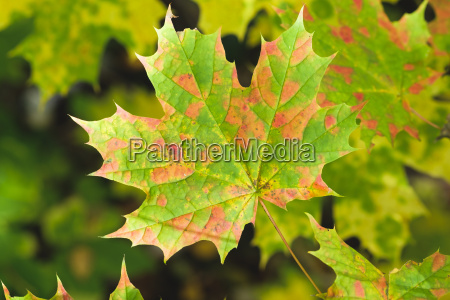 norway maple leaf in autumn