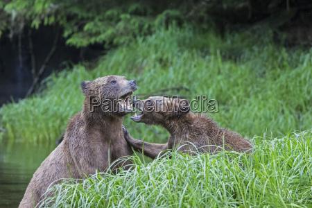 canada khutzeymateen grizzly bear sanctuary playing