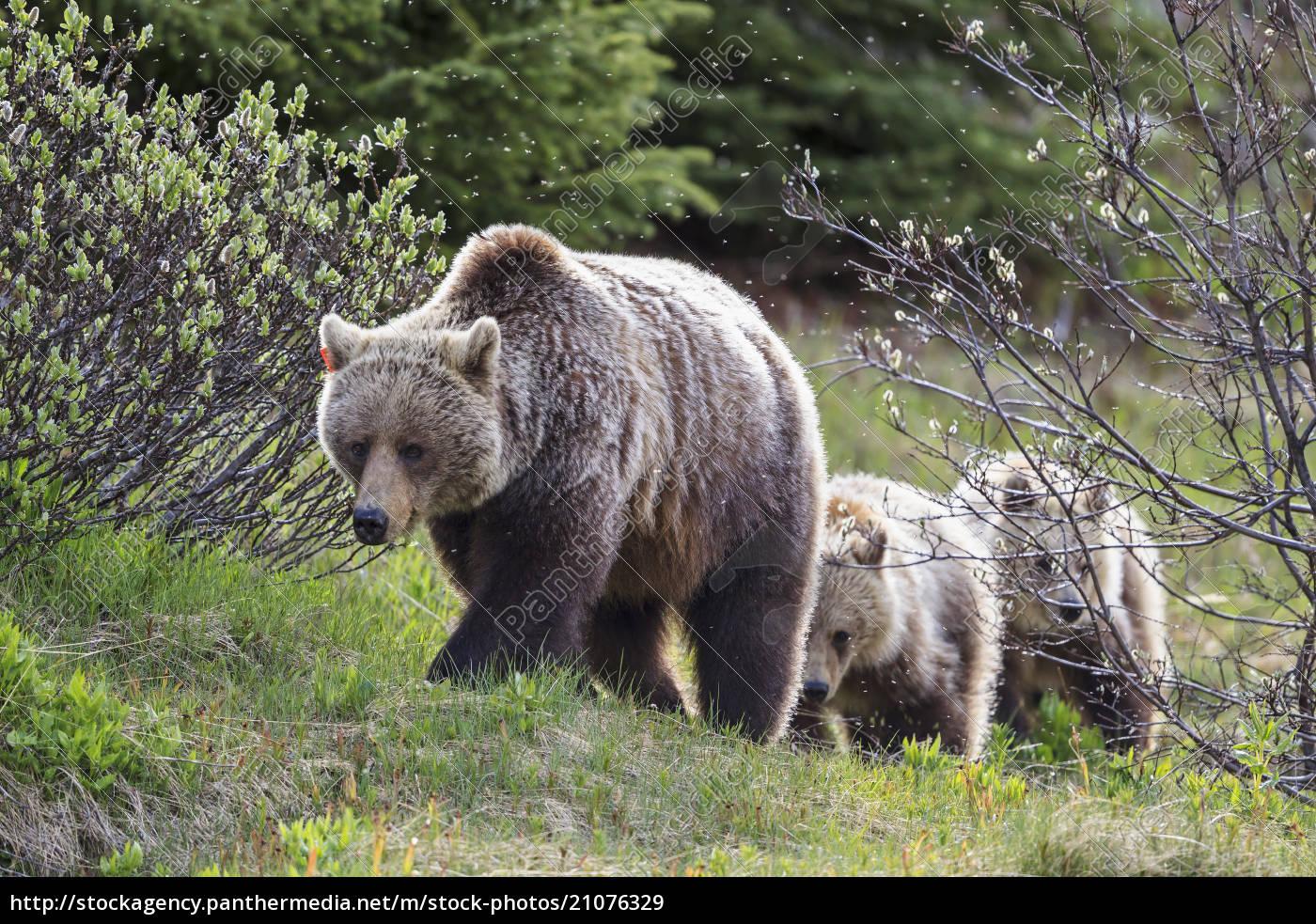 kanada, alberta, jasper, und, banff, nationalpark, grizzly-bären, mutter, mit, jungtieren - 21076329