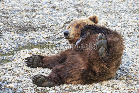usa alaska katmai national park brown