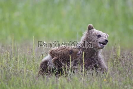 usa, alaska, lake, clark, national, park, und, preserve, playing - 21077647