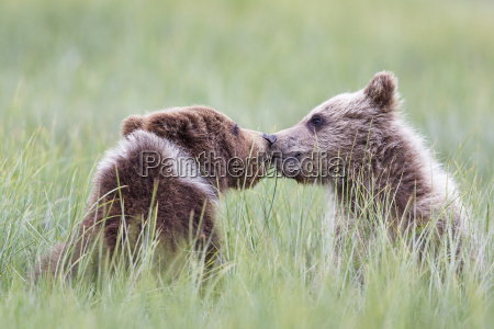 usa, alaska, lake, clark, national, park, und, preserve, playing - 21077657