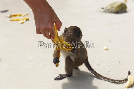 thailand lopburi makaken der banane isst