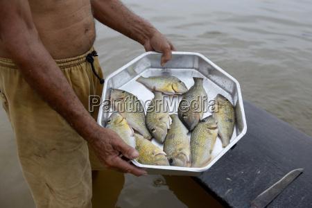 brasilien itaituba pimental fisher mit kleinem