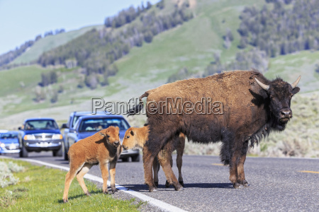 usa yellowstone nationalpark bisons kreuzung strasse