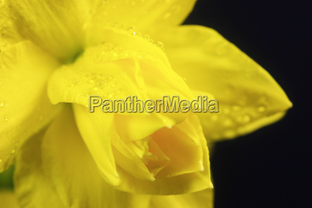 daffodil flowers with waterdrops against blue