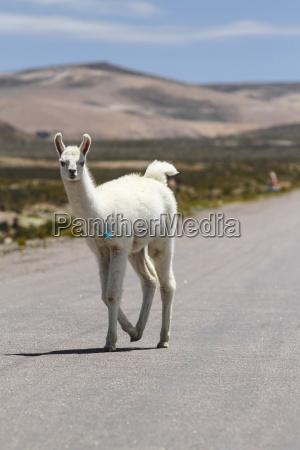 peru andes free ranging llama lama