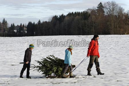 familie die weihnachtsbaum auf schlitten nimmt