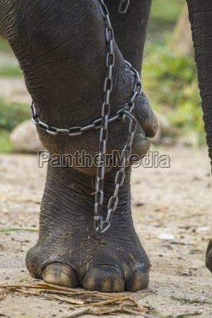 thailand chiang mai elefanten beine in