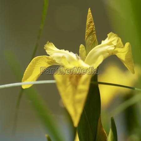 germany hesse iris pseudacorus flower close