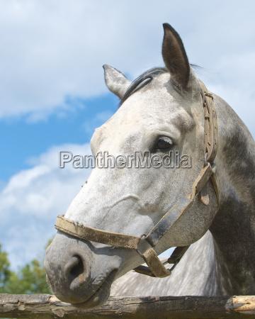 deutschland hessen dapple graues pferd aushaut