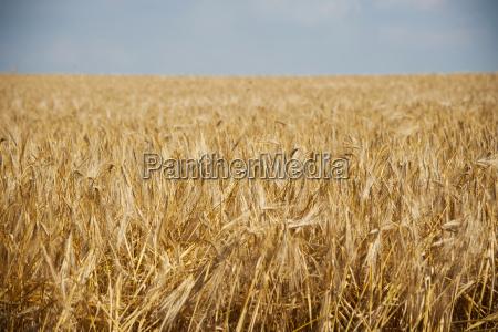 germany rhineland palatinate rhineland palatinate barley