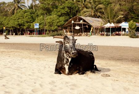 india goa arambol holy cow sitting