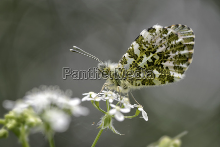 germany orange tip butterfly anthocharis cardamines