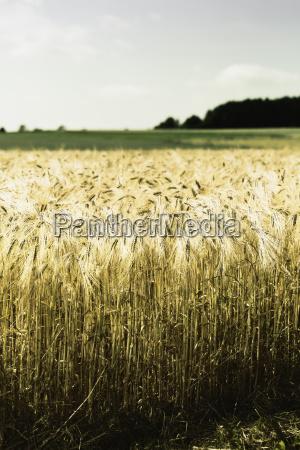 deutschland niedersachsen reifes maisfeld