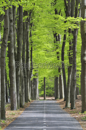 netherlands treelined track through deciduous forest